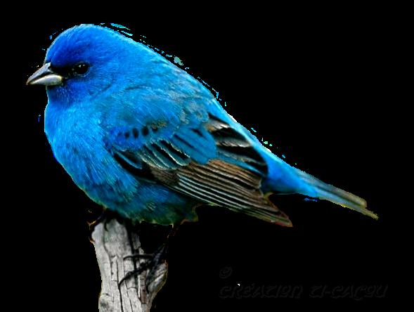 Tout en bleu page 4 for Oiseau couleur